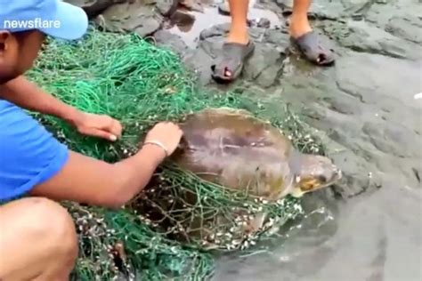 Watch: Sea turtle rescued from fishing net on Indian beach